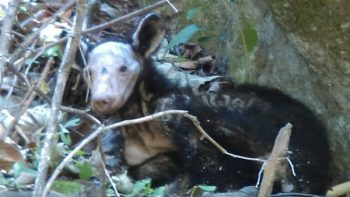 Rescata PROFEPA y PyVS a oso negro en peligro de extinción