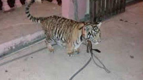 Profepa asegura tigre que era paseado en Salina Cruz, Oaxaca