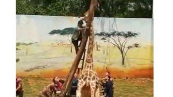 Muere jirafa al quedarse atorada en árbol en China
