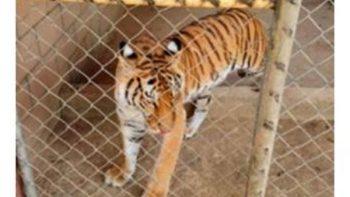 Asegura PGR tigre de bengala y armas en finca de Sinaloa