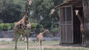 Presentan al público jirafa recién nacida en Zoológico de Morelia