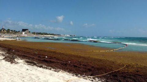 Aqueja sargazo costas de Quintana Roo