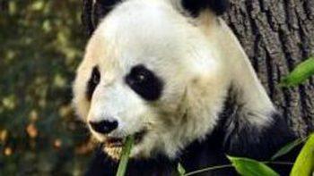 Zoológico de Chapultepec alberga panda más longeva fuera de China
