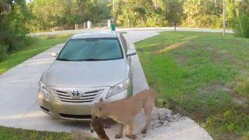 Puma ataca a gato en la entrada de una casa en Florida (VIDEO)