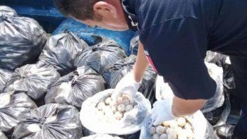 Recuperan más de mil huevos de tortuga marina en Chiapas