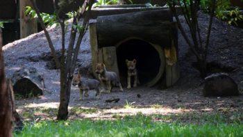 Ya tienen nombre las ocho crías de lobo mexicano nacidas en CDMX