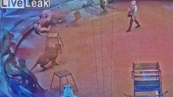 ¿Quién ganará? Captan en video pelea entre tigre y león en circo