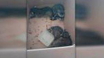 Hallan nido de mapaches en Centro de Salud de Altamira