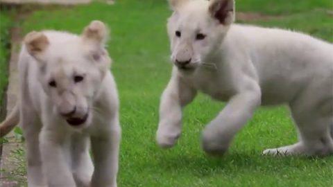 Gobierno de Tlaxcala niega traslado de leones blancos a Perú