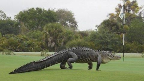 Cocodrilo mata a hombre que jugaba golf en Cancún