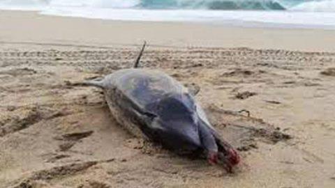 Golpeado y fracturado, hallan a delfín muerto en playa de Oaxaca