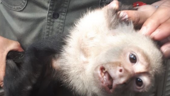 Mono capuchino, de prófugo a rehabilitado