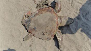 Aumenta número de tortugas muertas en playas de Tonalá, Chiapas