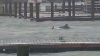 Captan delfines nadando en inundaciones causadas por 'Florence'