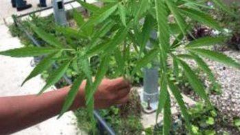 Mitos relacionados al uso de marihuana deben ser erradicados: Salud