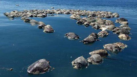Asciende a 141 tortugas muertas en las últimas dos semanas en Chiapas
