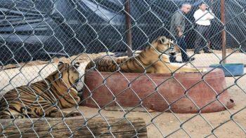 Tigre muerde a niña en la cabeza en Hermosillo