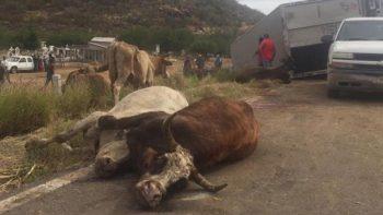 Roban 35 vacas tras volcadura de tráiler en Culiacán