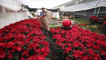 'Asegurada producción de flor de nochebuena con 19 millones'
