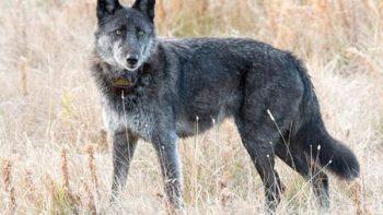 Cazan 'legalmente' a loba emblema de parque nacional Yellowstone
