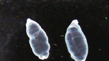 Larvas de solitaria: aliada contra el cáncer de colon