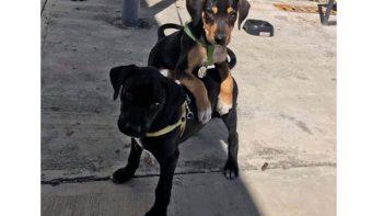 Agencia de autos adopta y 'contrata' chachorros como personal de seguridad